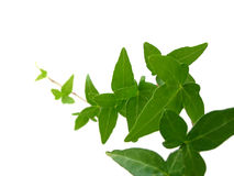 Ivy on white background 1 Royalty Free Stock Images
