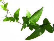 Ivy on white background 4 stock photo