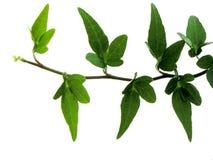 Ivy on white background 4 Stock Photos