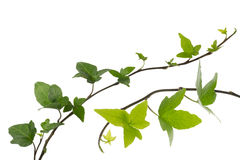 Ivy in a white background Royalty Free Stock Images