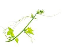 ivy white odosobnione green Fotografia Stock