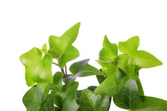 ivy white odosobnione green Obrazy Royalty Free