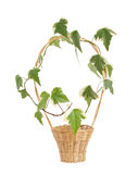 Ivy  in wicker  on white. Ivy Hedera canariensis Willd  in wicker  on white Royalty Free Stock Photography