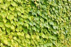 Ivy wild grape Stock Photography