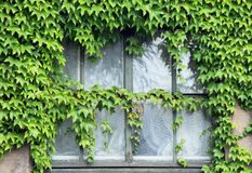 Ivy on window Royalty Free Stock Image