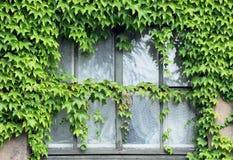 Ivy on window Royalty Free Stock Image