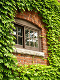 Ivy Window. An old wooden window in a brick wall surrounded by ivy Royalty Free Stock Image