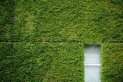 ivy window Στοκ Φωτογραφίες