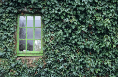 Ivy Window. An old wooden window surrounded by Ivy stock photography