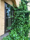 Ivy. Window covered by ivy Royalty Free Stock Photography