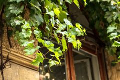 Ivy on the window of the house stock image