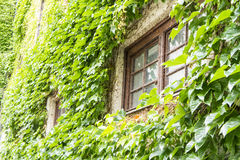 Ivy window. Old window covered with green ivy Royalty Free Stock Images