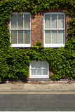 Ivy windows. Stock Photography