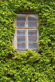 Ivy windows Stock Image