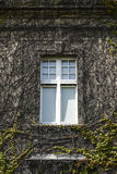 Ivy windows in the old building, summer sunny weather Stock Image