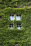 Ivy windows in the old building, summer sunny weather Royalty Free Stock Photo