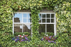 Ivy windows Royalty Free Stock Photo