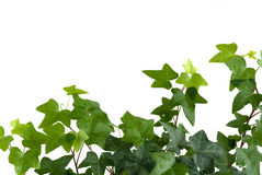 Free Ivy With Drops Of Water Royalty Free Stock Photography - 11179957