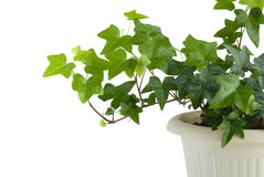 Free Ivy With Drops Of Water Stock Image - 13230821