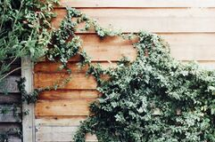 Ivy on wood fence stock photography