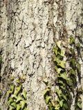 Ivy at Wood Stock Image