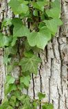 Ivy on wooden background stock photos