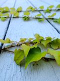 Ivy on a wooden wall Stock Image