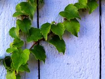 Ivy on a wooden wall Stock Images