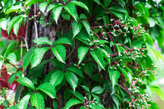 Ivy on wooden wall. Nature background Royalty Free Stock Photography