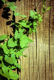 Ivy Wooden Wall verte photos libres de droits