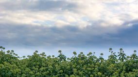 Ivy (Hedera helix) flowers in hedge and sky Royalty Free Stock Photo