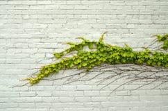 ivy zielone Obraz Stock