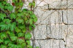 ivy zielone zdjęcia stock