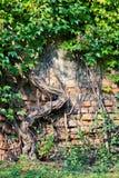 ivy zielone Zdjęcie Stock