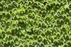 Ivyberry - green wall as background Royalty Free Stock Images