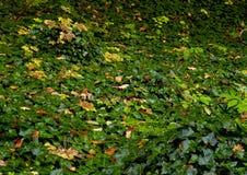 Ivyberry - Hederaschnecke Stockbild
