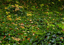 Ivyberry - schroef Hedera Stock Afbeelding