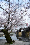 Iwakuni sakura Stock Image