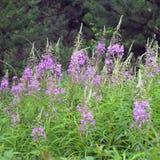 Iwan-Teeblumen auf dem Gebiet Wilde Heilpflanzen lizenzfreies stockbild