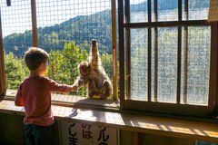 Iwatayama Monkey Park. Is a commercial park located in Arashiyama in Kyoto, Japan. The park is on Mt Arashiyama, on the same side of the Oi River as the train Stock Image
