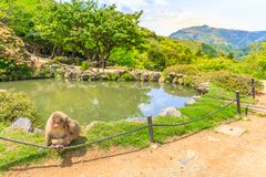 Iwatayama Monkey Park. Japanese macaque or Macaca fuscata near the pool in Iwatayama Monkey Park, Arashiyama, Kyoto, Japan. There are 120 Macaca Fuscata monkey Stock Photo