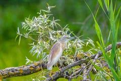 Ixobrychus minutus - dwarf heron. Wild birds on the Danube Delta, dwarf heron, sitting on  branch,, Romania Royalty Free Stock Photos