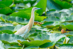Ixobrychus minutus - dwarf heron. Wild birds on the Danube Delta, dwarf heron, sitting on water among the lily leaves, Romania Royalty Free Stock Images