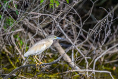 Ixobrychus minutus - Gray Heron on branch Royalty Free Stock Photos