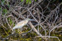 Ixobrychus minutus - Gray Heron on branch. Ixobrychus minutus in tree, ornithology Royalty Free Stock Photos