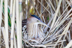 Ixobrychus minutus, Little Bittern. Royalty Free Stock Images