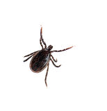 Ixodes ricinus, castor bean aka sheep tick Royalty Free Stock Photos