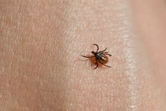 Ixodes scapularis Royalty Free Stock Photography