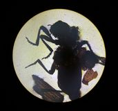 Ixodestik, mening van de microscoop tik in het laboratorium royalty-vrije stock afbeeldingen