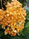 Ixora†‹coccinea†‹tropical†‹flower†‹plant†‹ royalty-vrije stock foto